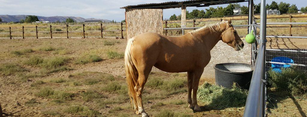 OGO Morgan Horses Old Growth Oak